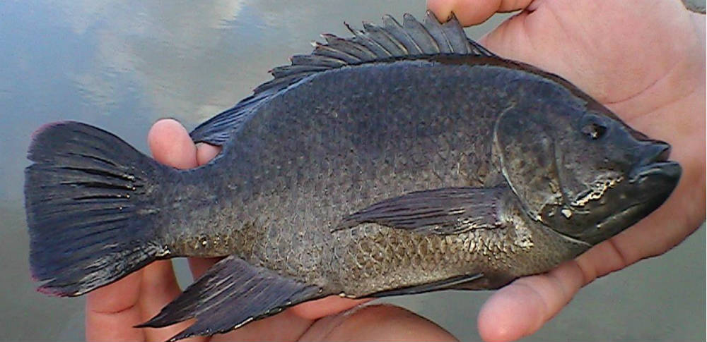 6 strong reasons you should never eat tilapia for What do tilapia fish eat