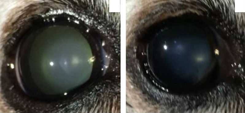 Treating Cataracts Without Surgery In Dogs