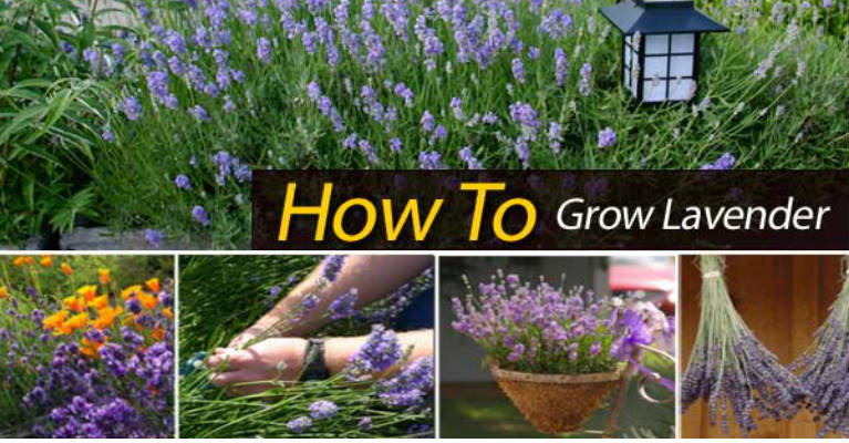 The Best Way to Grow Lavender in Your Garden
