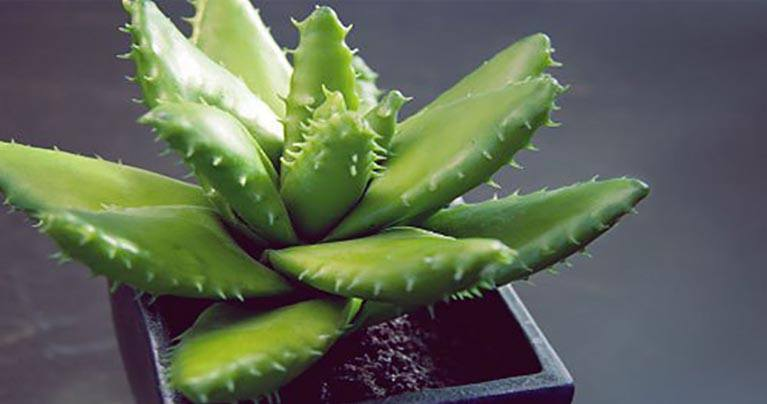 Fascinating 9 Plants Which Give Out Oxygen During the Night