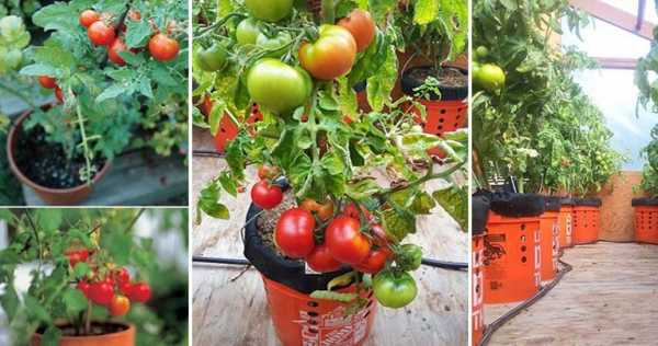 The Easiest Way to Grow Organic Tomatoes at Home